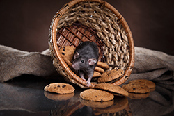 Roof Rats Pest Control Greenwich Stamford Fairfield Ct