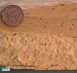 Bed Bug Eggs Hatch Powderpost Beetle Quick Facts - Spot, Take Action ...
