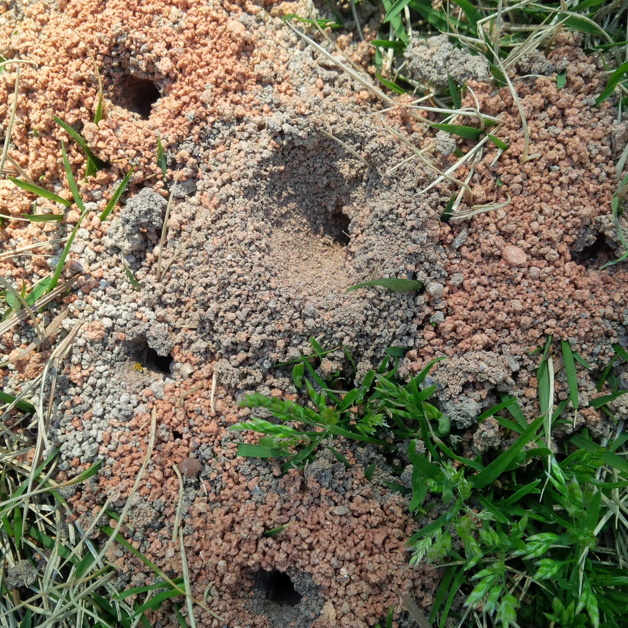 Identifying Ground Bees - Ground bee nests in lawnIdentifying Bees Nests