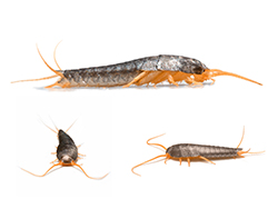 Silverfish Pest Control