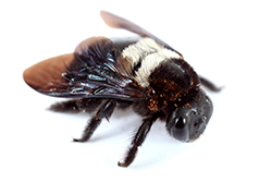 Carpenter Bees Pest Control