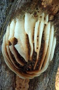 Honey Bees Pest Control