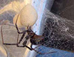 brown-recluse-spider-eggs-apollox-pest-control-greenwich-ct