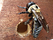 carpenter-bee-damage-apollox-pest-control-greenwich-ct-003
