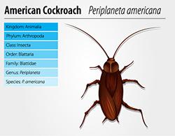 American Cockroach Pest Control Exterminator
