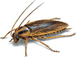 german-cockroach-apollox-pest-control-greenwich-ct