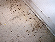 german-cockroach-infestation-apollox-pest-control-greenwich-ct