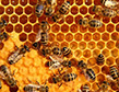 honey-bees-apollox-pest-control-greenwich-ct