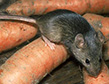 The House Mouse, a Food Damaging Pest