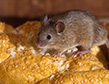 house-mouse-apollox-pest-control-greenwich-ct