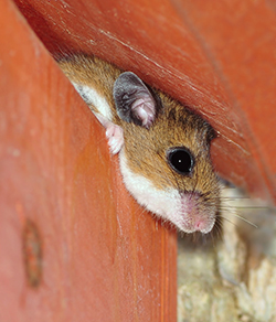 Deer Mouse Pest Control