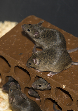 House Mouse Pest Control