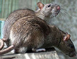 The Norway Rat, a Food Damaging Pest