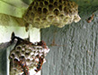 paper-wasp-nest-apollox-pest-control-greenwich-ct-003