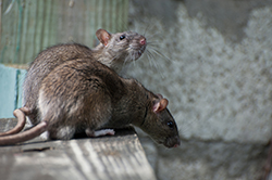 Norway Rats Pest Control