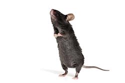 Roof Rats Pest Control