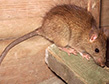 roof-rat-apollox-pest-control-greenwich-ct
