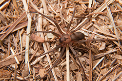 Brown Recluse Spider Pest Control