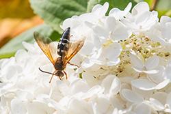 Cicada Killer Wasps Pest Control