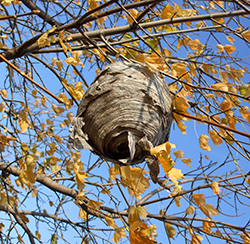 Paper Wasps Pest Control