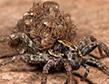 wolf-spider-liter-apollox-pest-control-greenwich-ct-002