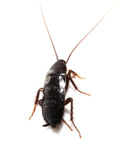 Natural Cockroach Repellents