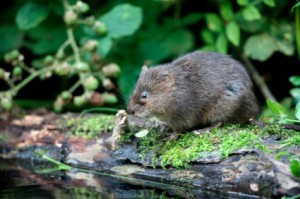 The Vole: On our Winter rodent pest control list.