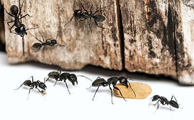 Carpenter Ant Colony and Satellite Colony