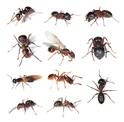 Natural Carpenter Ant Repellents