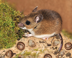 6 Natural Mice Repellents
