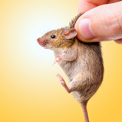 House Mouse Control Problems? How to Win!