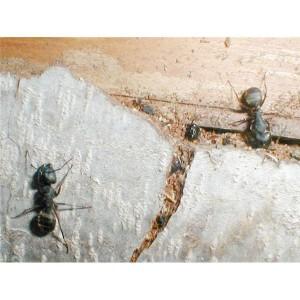 Natural Carpenter Ant Repellents