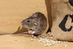 rat-norway-rat-005