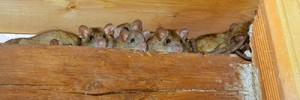Natural Rat Repellents