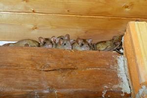 Natural Rat Repellents