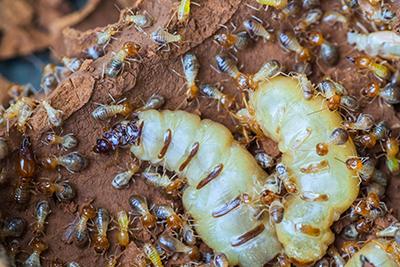 Natural Termite Repellents