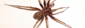 Natural Spider Repellents