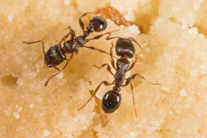 Exterminate Pavement Ants by First Understanding Them