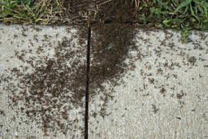 stop pavement ants