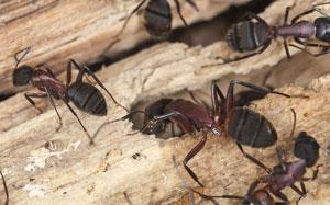 carpenter ant diy treatment