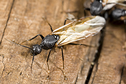 Carpenter Ants Emerging