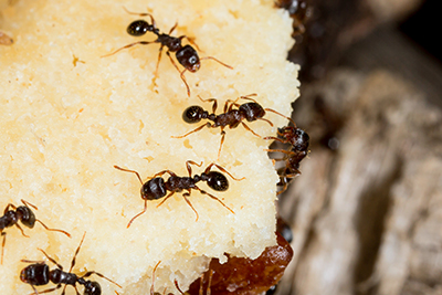 Pavement Ants In Our Food Supply