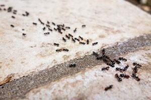 stop pavement ants