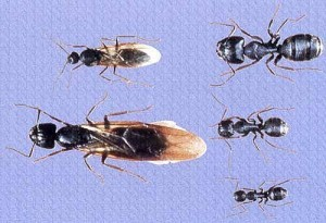 carpenter ant cycle - swarmers and workers