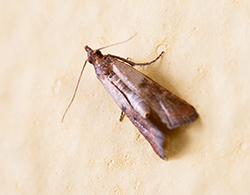 Indian Meal Moth Pantry Moths