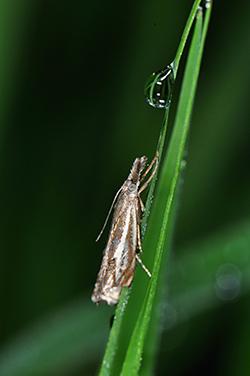 Mediterranean Flour Moth Infestation
