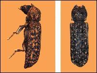 Bostrichid Powderpost Beetle Pest Control