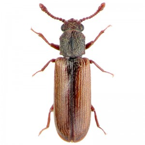 powderpost beetle quick facts