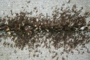 Sugar Ant Pest Control