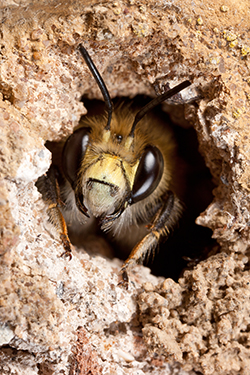 Identifying Ground Bees